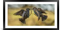 Squabbling starlings, Framed Mounted Print