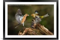 Chaffinch squabble, Framed Mounted Print