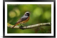 Male redstart with food for chicks, Framed Mounted Print