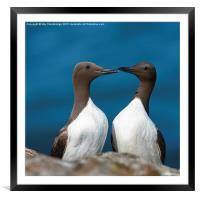 Guillemot love pair, Framed Mounted Print