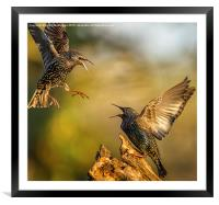 Starling fracas, Framed Mounted Print