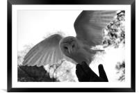 Barn owl landing on Falconers hand, Framed Mounted Print