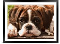 Alfie II Boxer Puppy Dog, Framed Mounted Print