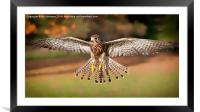 Kestrel Grace, Framed Mounted Print
