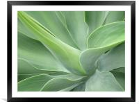 Agave Attenuata, Framed Mounted Print