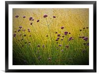 Verbena Flowers, Framed Mounted Print