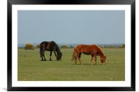 New Forest Pony's, Framed Mounted Print