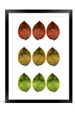 red, amber and green (9 leaves), Framed Mounted Print