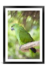 Yellow-naped Parrot, Framed Mounted Print