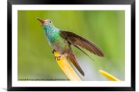 Hummingbird sitting with wing extended, Framed Mounted Print