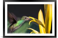 hummingbird feeding, Framed Mounted Print