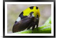 yellow and black treehopper, Framed Mounted Print