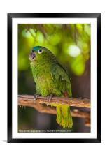 Blue naped parrot, Framed Mounted Print