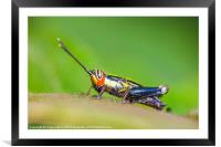 tiny colourful cricket, Framed Mounted Print