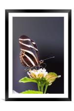 Tropical butterfly, Framed Mounted Print