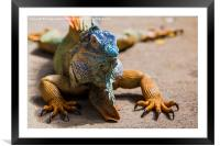 large green iguana, Framed Mounted Print