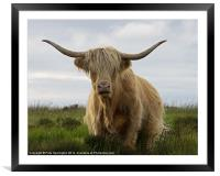 Highland Cow on Exmoor, Framed Mounted Print