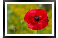 Poppy against Yellow background, Framed Mounted Print