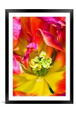 Tulip close up, Framed Mounted Print