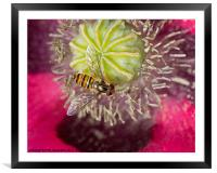 Hoverfly over Poppy, Framed Mounted Print