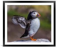 Puffin In A Flap, Framed Mounted Print