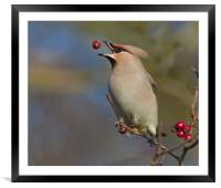Waxwing, Framed Mounted Print