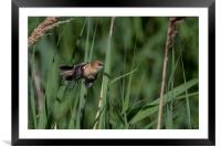 Flying through Reedbed , Framed Mounted Print