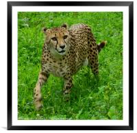 On the prowl, Framed Mounted Print