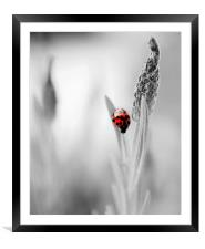 Harlequin Ladybird on B&W, Framed Mounted Print