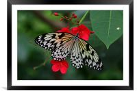Butterfly, Framed Mounted Print