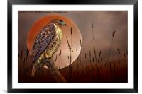 Red Tail Hawk At Rest, Framed Mounted Print