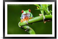 Red Eyed Tree Frog, Framed Mounted Print