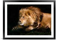 Raw Lion Power, Framed Mounted Print