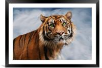 Sumatran Tiger on Blue, Framed Mounted Print