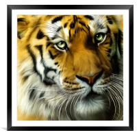 Sumatran Tiger Close Up, Framed Mounted Print