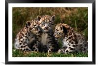 Snow Leopard Cubs, Framed Mounted Print