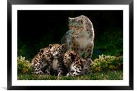 Snow Leopard with cubs, Framed Mounted Print