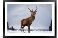 Highland Deer, Framed Mounted Print