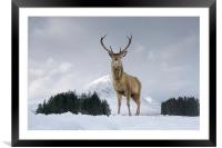 Highland Stag, Framed Mounted Print