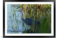 Heron, Framed Mounted Print