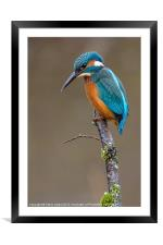 Common Kingfisher (Alcedo atthis), Framed Mounted Print