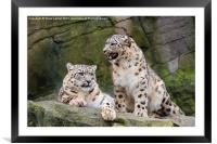Snow leopards (Panthera uncia), Framed Mounted Print