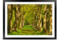 Avenue of Trees, Framed Mounted Print
