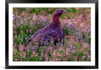 Red Grouse, Framed Mounted Print
