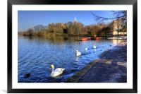 Swans glide past, Framed Mounted Print