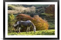 Grazing In The Autumn Sunshine, Framed Mounted Print