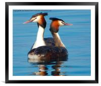 Great Crested Grebes courting., , Framed Mounted Print