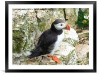 Puffin on the Cliffs., Framed Mounted Print