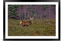 Stag at Signal Rock, Framed Mounted Print