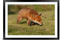 Prowling., Framed Mounted Print